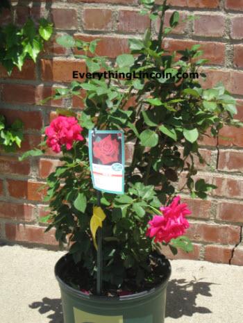 Vegetation Named After Lincoln Includes Mr Lincoln Rose